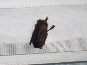 Fledermaus an der Waldschlösschenbrücke